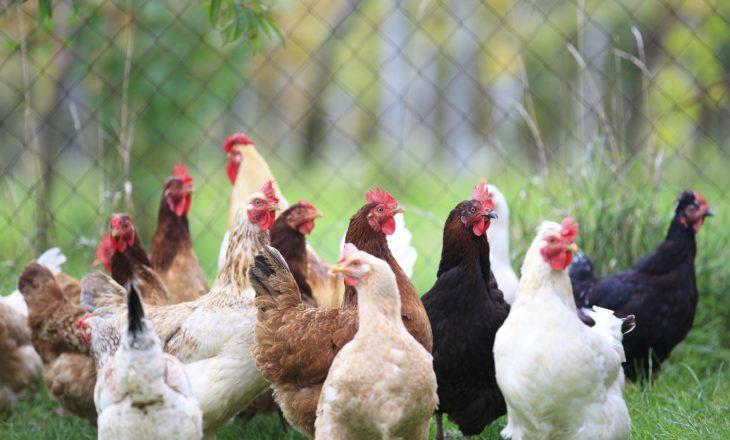 Asgjësohen shpezë në 36 ferma si pasojë e gripit