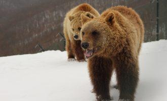Dimri i parë në liri – arinjtë e Prishtinës shijojnë ushqimin para gjumit dimëror