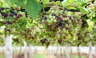 Arsyet pse rrushi duhet të shtohet në dietën tuaj