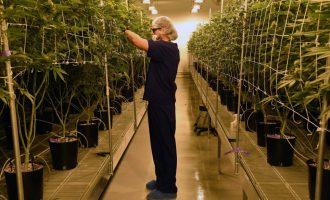 Brenda Qendrës më të madhe të kultivimit të marihuanës në Amerikë