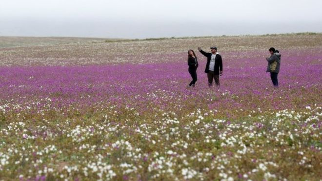 Një nga vendet më të thata në botë lulëzon pas shiut të befasishëm
