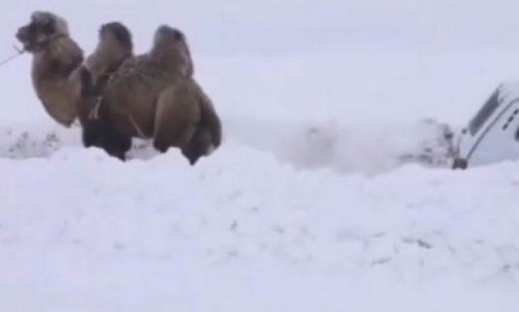 Borë e madhe, deveja tërheq makinën e bllokuar