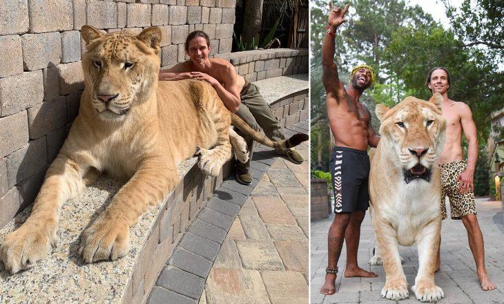 Peshon 319 kg, ky është luani më i madh në botë