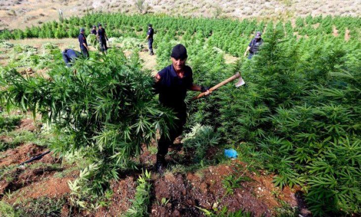 Kultivimi i marihuanës, Policia nxjerr 1600 forca në terren