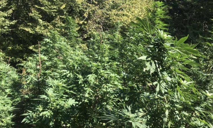 Policia gjatë operacioneve me dron identifikon një plantacion tjetër me kanabis