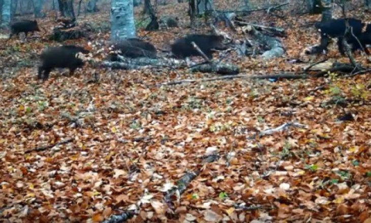 Derrat e egër rikthehen në Parkun e Gërmisë