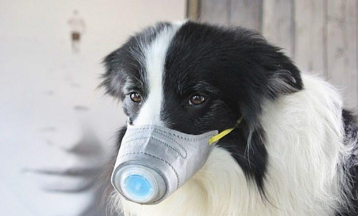 A mund të dallojnë qentë personat e prekur nga koronavirusi?