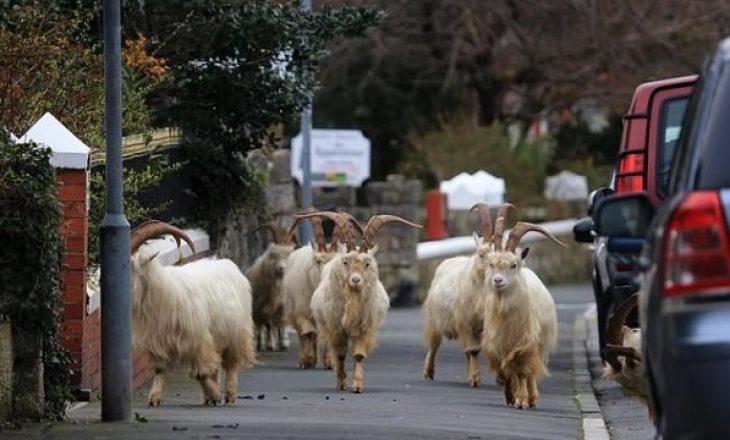 """Uellsianët mbyllen në shtëpi nga koronavirusi, kopeja e dhive ua """"pushton"""" qytetin"""