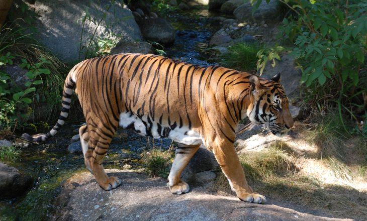 Tigri del pozitiv për koronavirus