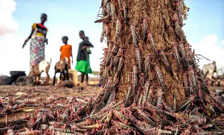 Karkalecat 'pushtojnë' Afrikën – Më të rrezikshëm se koronavirusi