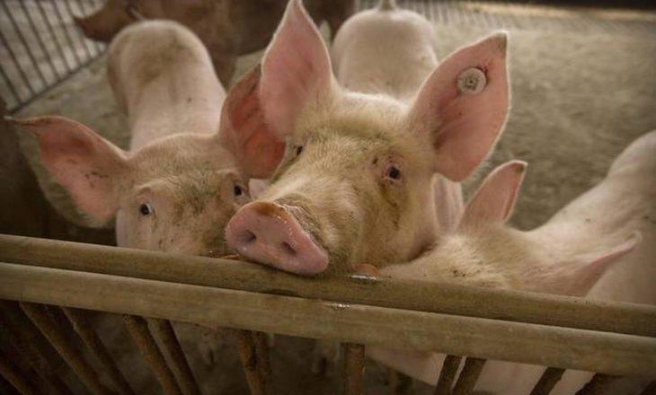 Studiuesit në Kinë zbulojnë gripin e ri të derrave me 'potencial pandemik'