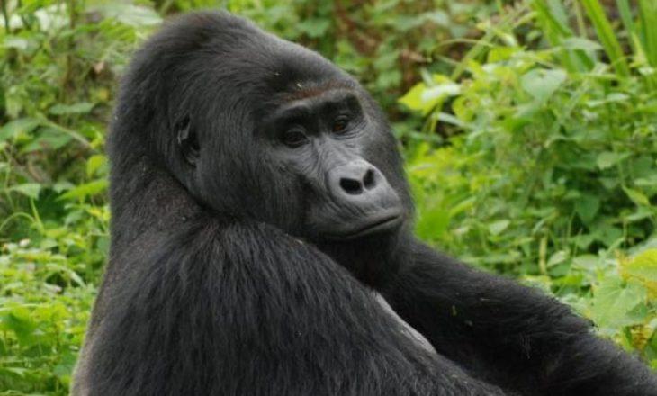 Vrasësi i gorillës së rrallë Rafikit, vuan dënimin me burgosje