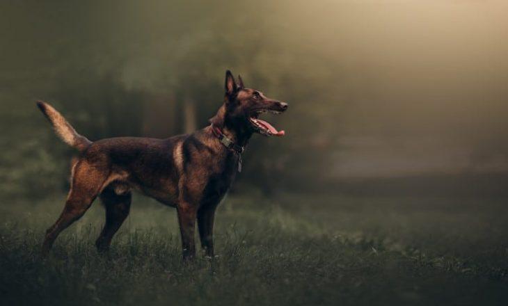 Qeni Belgian Malionois po stërvitet për nuhatje të personave të infektuar me Covid 19