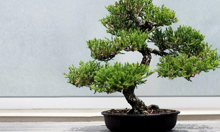 Keni blerë një pemë Bonsai? Këto këshilla do ju vijnë në ndihmë