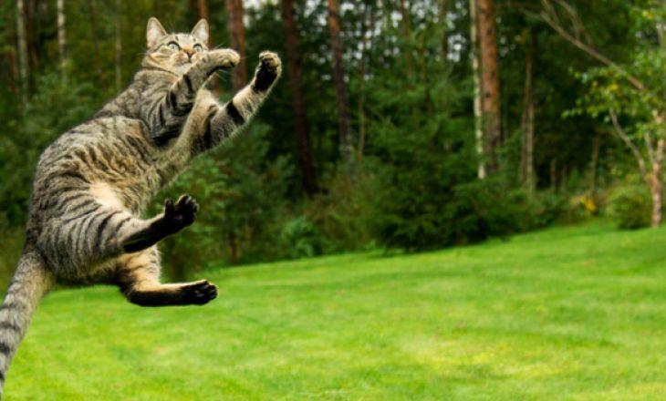 Shkenca mahnitëse prapa arsyes se pse macet bien gjithmonë në këmbë