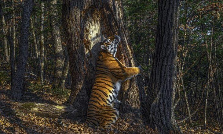 Fotografia e një tigri që përqafon pemën, fiton vendin e parë në konkursin për fotografi të botës së egër