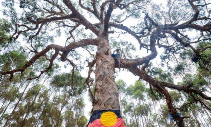 Prerja e një peme të shenjtë aborigjine për shkak të autostradës, nxit mllef në Australi