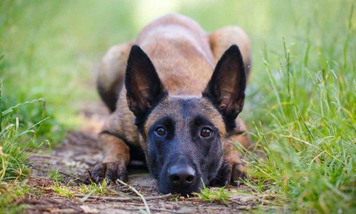 Qeni mund të nuhasë një person të pabesë