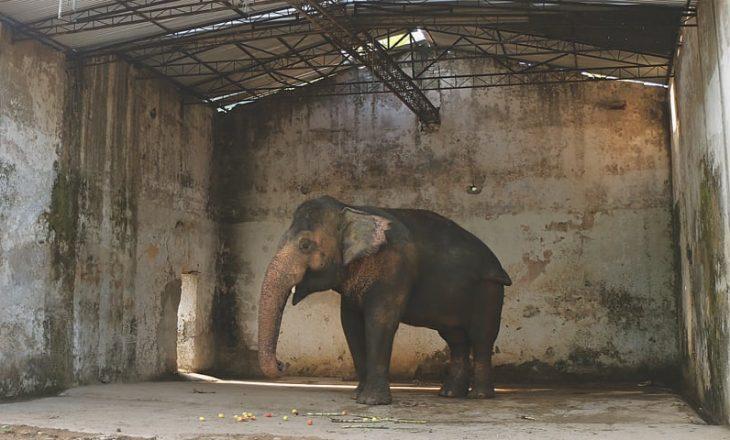 """""""Elefanti më i vetmuar në botë"""" nuk do të jetë më kaq i vetmuar"""
