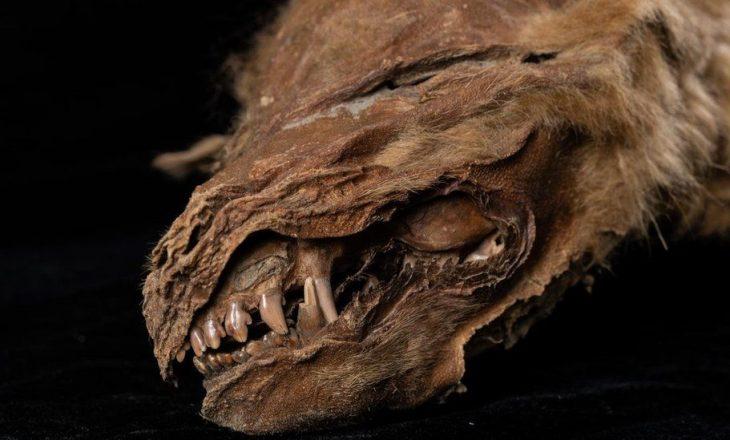 Ujku antik i mumifikuar që u gjet në Kanada jetoi 56 mijë vjetë më parë