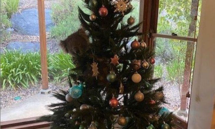 Familja gjen një koala të varur në pemën e tyre të Krishtlindjes
