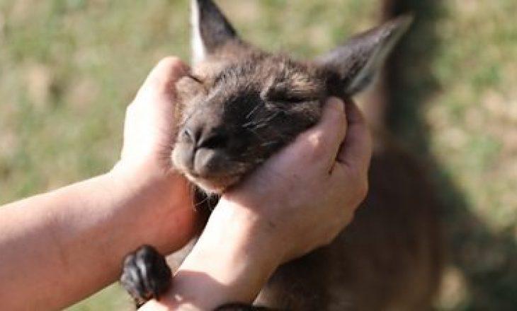 Kangurët mund të komunikojnë me njerëzit – thotë studimi
