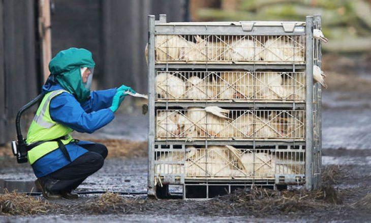 Në Danimarkë zbulohet gripi i shpendëve H5N8