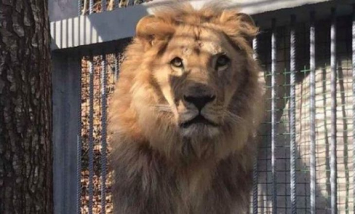 """Nitaj flet për transferimin e luanit """"Gjoni"""" në Holandë"""