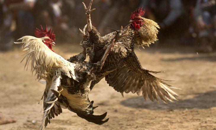 Gjeli indian vret pronarin gjatë luftës së gjelave