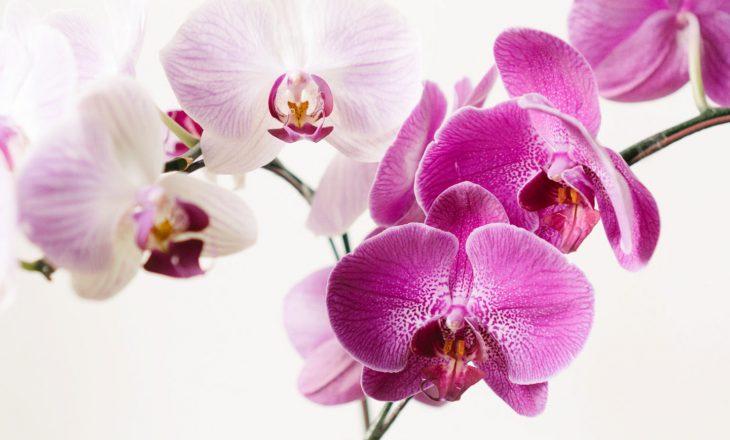 Ja se çfarë përbërës nevojiten që orkidetë tuaja të shkëlqejnë