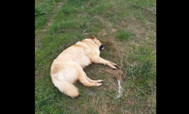 Dyshohet se disa qenë në Prishtinë janë helmuar, tre të ngordhur