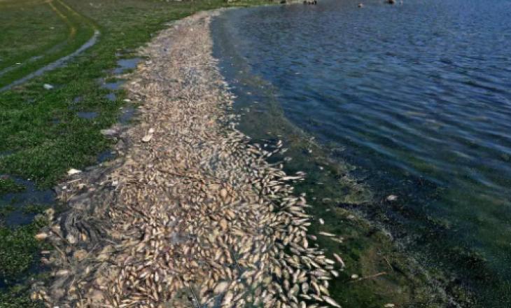 Mister pse mijëra peshq kanë ngordhur në liqenin libanez