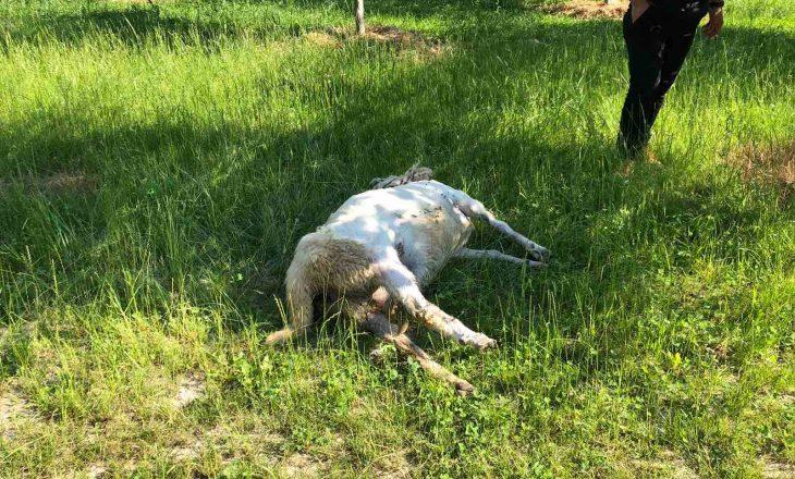 Ujku mbytë të paktën 12 copë dele në Strellc të Epërm të Deçanit